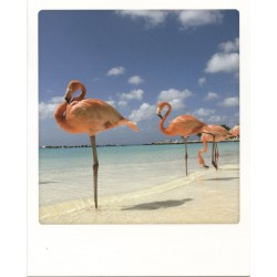 Flamants roses, Pays-Bas